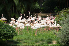 A flock of pink flamingos in a city park Stock Photography
