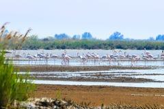 Flock of pink flamingos.Po river lagoon. Flock of pink flamingos from & x22;Delta del Po& x22; lagoon, Italy. Nature panorama Stock Photos