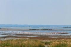 Flock of pink flamingos.Po river lagoon. Flock of pink flamingos from & x22;Delta del Po& x22; lagoon, Italy. Nature panorama Stock Photography