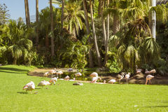 A flock of pink flamingos grazing on a green meadow beside the p Stock Photo