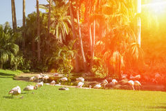 A flock of pink flamingos grazing on a green meadow beside the p Royalty Free Stock Photography