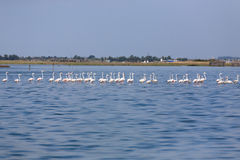 Flock of pink flamingos Royalty Free Stock Image