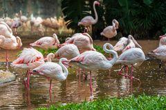 A flock of pink flamingos in the national Aves park, Brazil. Pink flamingos in the national Aves park, Brazil royalty free stock images