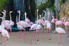 A flock of pink flamingos Phoenicopterus in a zoo, at Bioparc, Valencia royalty free stock image