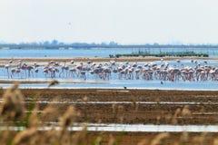 Flock of pink flamingos.Po river lagoon Royalty Free Stock Image