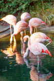 Flock of pink flamingos Royalty Free Stock Images
