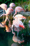 Flock of pink flamingos Stock Photo