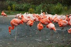 A flock of pink flamingos. Flamingos in the Prague zoo. Czech Republic Stock Photos