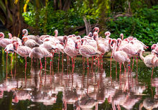 Flock of pink flamingos Royalty Free Stock Photo