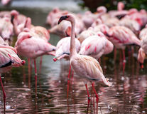 Flock of pink flamingos Royalty Free Stock Image