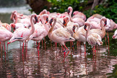 Flock of pink flamingos Royalty Free Stock Photography