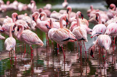 Flock of pink flamingos Stock Photography