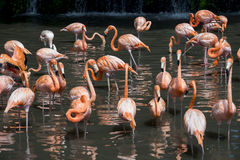 A flock of pink flamingos and reflection in water Royalty Free Stock Image