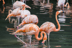 A flock of pink flamingos and reflection in water Royalty Free Stock Photos