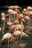 A flock of pink flamingos and reflection in water Stock Images