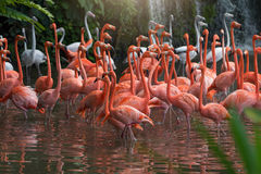 Flock of Pink flamingos Royalty Free Stock Photos