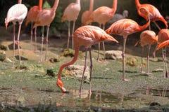 Flock of Pink flamingos Royalty Free Stock Photos