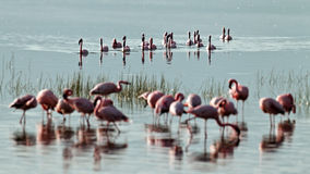 Flock of pink flamingos swiming on water Stock Photo