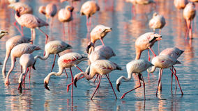 A flock of pink flamingos walk on water. A flock of pink flamingos walks on water, Lake Nakuru, Kenya Royalty Free Stock Photos