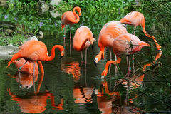 Flock of pink flamingos Royalty Free Stock Photo