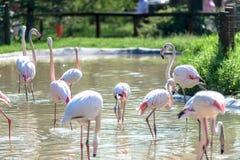Flock of pink flamingos Stock Photography