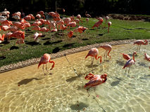 A flock of pink flamingos in water and grass Stock Photo