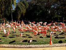A flock of pink flamingos in water and grass. Pink flamingos in clean  water and  green grass, South Africa Stock Photo