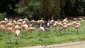 Flock of pink flamingos in the wild. Flock of pink flamingos in nature, palms in the background Royalty Free Stock Images