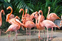 flock of pink flamingos in a zoo stock image