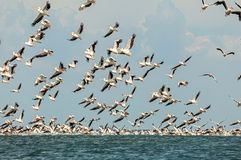 Flock of pink pelicans Stock Image