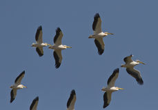 A flock of pink pelicans soaring in thesky. Royalty Free Stock Image