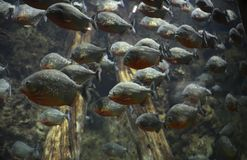 A flock of piranhas Royalty Free Stock Photography