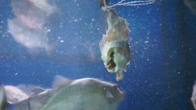Flock of piranhas eating stock video footage