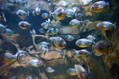Flock of piranhas among rocks in river Stock Photography