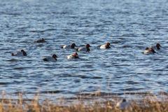 Flock of Pochard birds swimm Stock Photography
