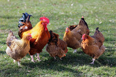 Flock of poultry royalty free stock photo