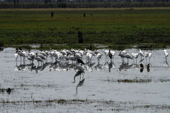 Flock of Preening Spoonbills Royalty Free Stock Photography