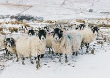 Ewes, a flock of pregnant ewes in the Yorkshire Dales during wintery weather royalty free stock photos