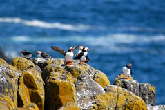 Flock of Puffins Stock Photos