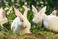 Flock rabbits Stock Image