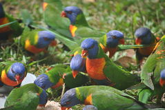 Flock of Rainbow lorikeet. Eating some bread Royalty Free Stock Images
