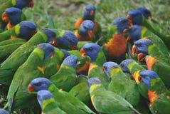 Flock of Rainbow lorikeet. Eating some bread stock photo