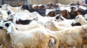Flock of rams Royalty Free Stock Photo