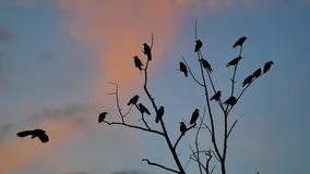 Flock of raven birds autumn sitting on a tree dry branches of trees orange sunset silhouette. crows birds flock. Flock of raven birds autumn sitting on tree dry stock footage