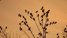 Flock of raven birds autumn sitting on a tree dry branches of trees sunset orange silhouette. crows birds flock. Flock of raven birds autumn sitting on tree dry stock footage