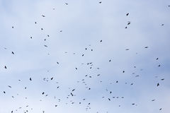 A flock of raven birds on a blue sky Royalty Free Stock Photos