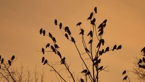 Flock of raven birds sitting autumn on a tree dry branches of trees sunset orange silhouette. crows birds flock. Flock of raven birds sitting autumn on tree dry stock video
