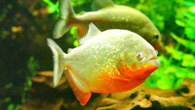 Flock of red-bellied piranha in aquarium stock footage