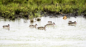 Flock of Red-biled Ducks Teal Anas erythrorhyncha on a Small Pond. In Northern Tanzania Royalty Free Stock Images