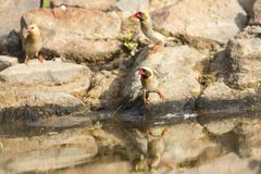 Flock of Red Billed Quelea sitting on a rock at a waterhole in t Royalty Free Stock Photography